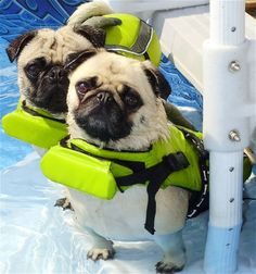 Pugs Swimming - properly dressed for the water... safety first, pugs have very short passages from the nose to the lungs and need all the help they get - extreme hot or cold weather can scorch or freeze their lungs as well as water drowning them - can be deadly for these wonderful little dogs