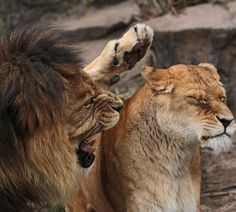 101 Cool Animal Facts and Interesting Facts About Animals A lion is the most sexually active animal in the world; it can mate with the same female a hundred times a day. Funny Wild Animals, Wild Animals Attack, Animal Attack, Animals And Pets, Fun Facts About Animals, Animal Facts, Beautiful Cats, Animals Beautiful, Unique Animals
