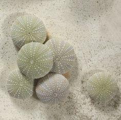 seashells-and-sealife-natural-sealife-Sealife - 1 To 2 Inch Green Sea Urchin