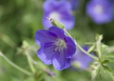 some of the most beautiful perennials bloom best in the shade. Discover what a surprising wealth of possibilities shade plants provide. Cranesbill Geranium, Shade Plants, Shade Garden, Geraniums, Colorful Flowers, Perennials, Shades, Beautiful, Om