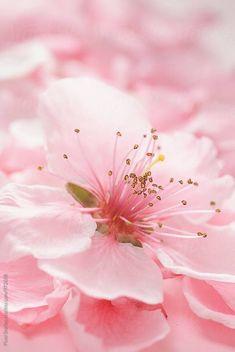 Pink Spring blossom macro by Pixel Stories - Stocksy United Sakura Cherry Blossom, Pink Blossom, Blossom Trees, Cherry Flower, Cherry Blossoms, Frühling Wallpaper, Flower Wallpaper, Pink Flowers, Beautiful Flowers
