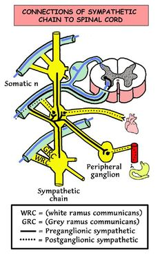 Topographic and Functional Anatomy of the Spinal Cord: Gross Anatomy ...