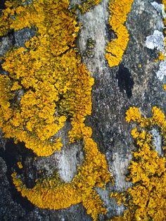 Crustose Lichen Art Print   Society6