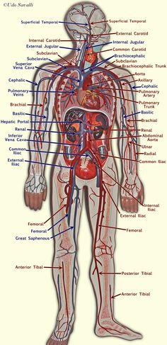 anatomy of blood vessels veins diagram Human Body Exhibit, Blood Vessels Anatomy, Arteries Anatomy, Bodies Exhibit, Anatomy Models, Body Anatomy, Eye Anatomy, Gross Anatomy, Heart Anatomy