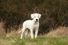 The Dogo Argentino emerged from the ashes of a native fighting dog to become a world-class hunter of big game. Modern Molosser  | www.modernmolosser.com