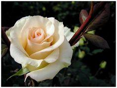 (¯`ღ´¯))ღ✿✿ღ¸.•*¨¨*•~✿ ..`*.¸.*´~ ✿¸.•*Ƹ̵̡Ӝ̵̨̄Ʒ*•.. .*•~✿ ✿¸¸.•*•❥ Rosas ✿¸¸.•*•❥ Entre a distância e a Saudade ✿¸¸.•*•❥ Meu sonho ✿¸¸.•*•❥ Além do Infinito