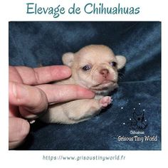 Le Chihuahua, Education Positive, Chihuahuas, Petra, Teddy Bear, Adopt A Puppy, Little Princess, Puppies, Animaux