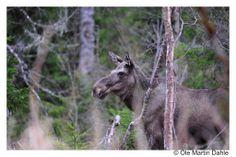 Moose in Norway   moose-omd.jpg