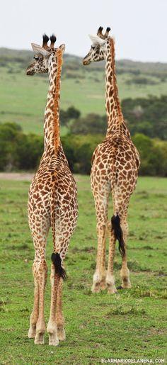 Giraffes - Masai Mara (Kenya) Animals Of The World, Animals And Pets, Baby Animals, Funny Animals, Cute Animals, Masai Giraffe, Safari, Wild Animals Photos, Kenya