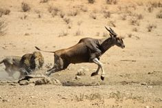 A nail-biting series of images of a lion launching an attack on an eland in the Kgalagadi Transfrontier Park.
