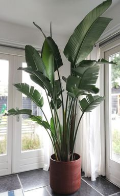 XXL Strelitzia Nicolai The Effective Pictures We Offer You About house plants decor wood A quality picture can tell you many things. Big Indoor Plants, Large Plants, Indoor Garden, Potted Plants, Indoor Trees, House Plants Decor, Plant Decor, Plantas Indoor, Birds Of Paradise Plant