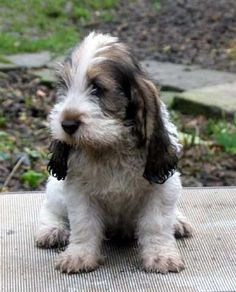 My future dog!!!! A petit basset griffon vendeens....I'm in love