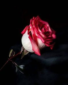Flower Images Hd, Rose Images, Rose Pictures, Rose Photos, Hd Images, Beautiful Red Roses Images, Beautiful Flowers Garden, Beautiful Gif, Pretty Flowers