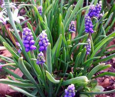 Developing buds have a greenish color; mature flowers have a tiny white border at the bottom.