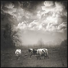 cows - I have an old photograph that's similar to this, crazy!