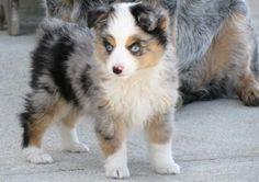 AKC Merle Australian Shepherd Puppy