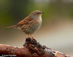 Heggenmus  (Van vroegevogels)
