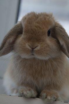 Holland Lop - i want one or a mini lop Mini Lop Bunnies, Cute Baby Bunnies, Mini Lop Rabbit, Pet Bunny Rabbits, Giant Rabbit, Bunny Bunny, Lop Eared Bunny, Bunny Room, Small Rabbit