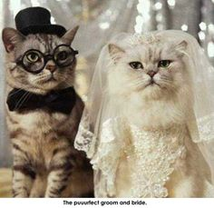 Cat wedding Picture from Cats. A cat wedding Funny Cat Videos, Funny Cats, Funny Animals, Cute Animals, Silly Cats, Funny Cartoons, Wild Animals, Very Funny Photos, Funny Animal Pictures
