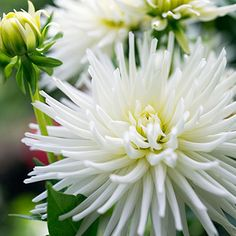 """Dahlia 'Prince Charming' - A cactus style dahlia that would make stunning addition to any sunny flowerbed. Blooms measure 4"""" across. Height 24""""."""