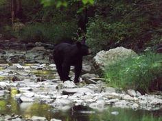 Bear on creek bank in Greenbrier Co. 2014--AOUWV