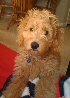 Goldendoodle..can money appear in my hand and I get this dog already?!