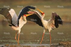 Yellow Billed Storks in confrontation on lake