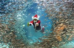 Diver dressed as Santa swimming with hundreds of fish...