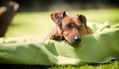 German Pinscher female outside in the garden. Chill.