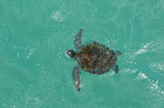 Turtle from the St. Andrew's State Park fishing pier in Panama City Beach, Florida. Picture taken by John Allen