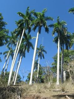 Royal Palm (National Tree of Cuba) - Picture of Sierra Maestra Mountains, Cuba - TripAdvisor Cuba Pictures, International Day, Turks And Caicos, Havana Cuba, Archipelago, Beautiful Islands, Key West, Palms, Homeland