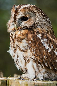 Tawny Owl 21/04/13 by Dave learns his Dig SLR? on Flickr.