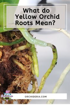 Yellow Roots on Orchids: Cut Off, Nurture, or Ignore them? Orchids In Water, Indoor Orchids, Orchids Garden, Orchid Roots, Orchid Leaves, Moth Orchid, Orchid Plant Care, Orchid Plants, Orchid Drawing