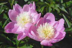 Wladyslawa' Matala ja runsaskukkainen. Myöhäisimpiä kukkijoita. Kuin pienikokoinen 'Bowl Of Beauty'. 70cm bowl of beautyn eteen