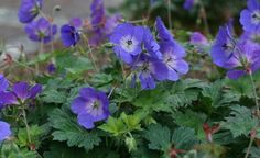 """Rozanne hardy cranesbill (Geranium 'Rozanne', zone Plant of the Year honor perennial flower tumbles over ground, reaching up to tall and feet wide. purple flowers w/white center fits next to white-flowered plants"" Perennial Geranium, Cranesbill Geranium, Hardy Geranium, Blue Geranium, Perennial Plant, Flowers Perennials, Planting Flowers, Coastal Gardens, Cottage Gardens"