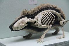 Half Taxidermy, Half Skeleton Hedgehog | Flickr - Photo Sharing!