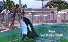 Hugo....Lolita's tank mate....died on March 4th, 1980 after repeatedly smashing his head into the walls of the tank in what is described as an act of suicide.