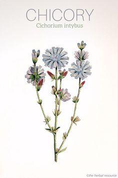 Chicory Cichorium intybus More