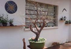 Desfolha bonsai Jabuticabeira