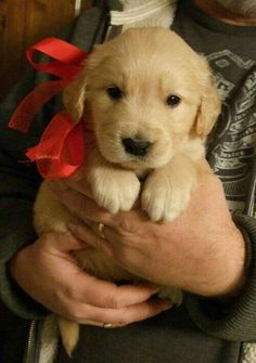 Dog Breeds A Golden Retriever Puppy.Best Christmas gift ever! - Warning: this post contains cuteness overload. [Editor's note — The title of this post is misleading. ALL dogs are the best dogs. Animals And Pets, Baby Animals, Funny Animals, Cute Animals, Wild Animals, Cute Puppies, Cute Dogs, Funny Dogs, Retriever Puppy