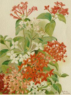 1896 Antique print of a BOUVARDIA FLOWER. Wedding Flowers. Ornamental Plants. Bouvardias Flowers. Houseplants. 118 year old nice lithograph.