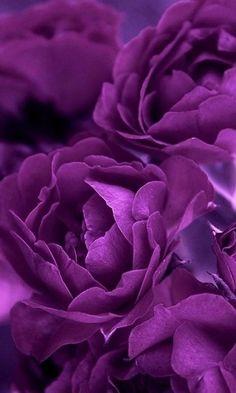 purple.quenalbertini: Purple flowers
