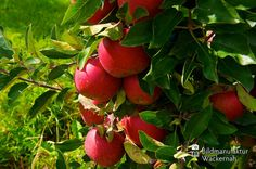 nice Apfelplantage Königreich Numero 8,  #Landleben
