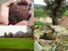 Validated and Potential Medicinal Rice Formulations for Diabetes (Madhumeh) and Cancer Complications and Revitalization of Kidney (TH Group-170) from Pankaj Oudhia's Medicinal Plant Database