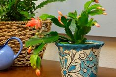 Christmas cactus (Schlumbergera bridgesii) is a native of Brazil. Not at all like the familiar desert cactus, Christmas cactus is tropical, spineless and it blooms in trailing. Cactus Water, Cactus Flower, Flower Pots, Flower Bookey, Flower Film, Indoor Trees, Indoor Flowers, Indoor Plants, Indoor Garden