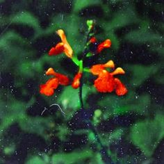 bad pic beautiful plant I love salvias because they are food for hummingbirds .