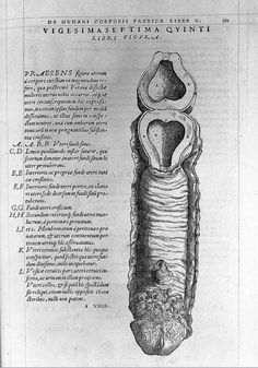 A Galenic view of the Female Sex Organs portrayed in Andreas Vesalius' (1514–1564) On the Fabric of the Human Body (De Fabrica.) (1543)