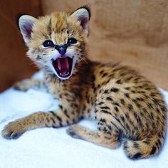 The cutest little baby serval kitten you will ever meet. And he wants you to fear him! Savannah Kittens For Sale, Kitten For Sale, Kittens Cutest, Cats And Kittens, Big Cats, Serval Kitten, Black Jaguar White Tiger, Cat Years, Cats And Cucumbers