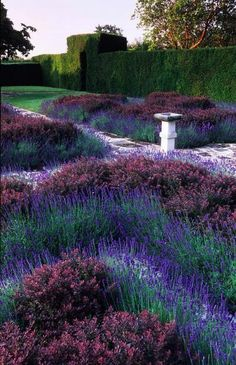 Lavender  barberry knot garden #purple #flowers