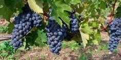 La filosofía del  vino biodinámico